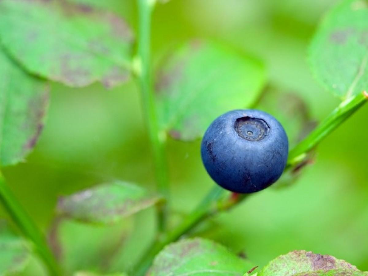 blueberry-1730_640.jpg